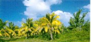 coconut trees photographed on Gombrani Island